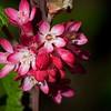 Flowering currant <i>(ribes sanguineum)</i>.