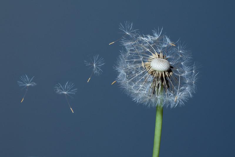 Dandelion flower <i>(taraxacum)</i> with blowing seeds.