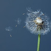 Dandelion flower <i>(taraxacum)</i> with blowing seeds.