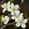 Flowers of plum <i>(prunus domestica)</i>.