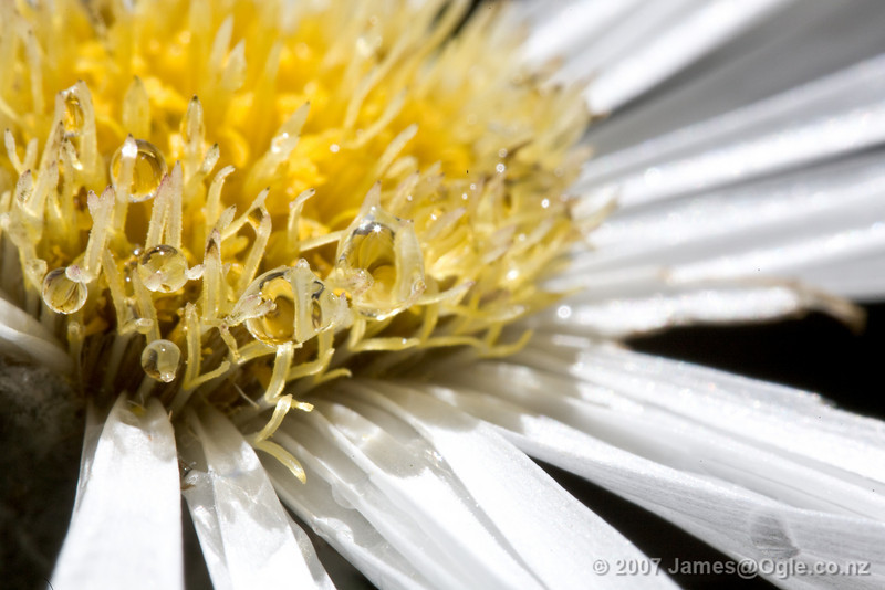 A New Zealand Mountain Daisy. Celmisia coriacea They grow on single long white stems and are quite a bit larger than the common daisy that we all know. There are close to sixty different species that are found in New Zealand which can make it difficult to identify them properly.