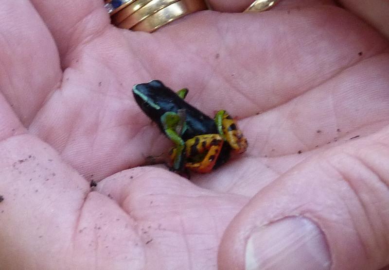 HPAnother TinyFrog123 Nov. 10, 2010  3:39 p.m.  P1000123 Unidentified tiny frog, probably Mantella madagascariensis. Ranomafana