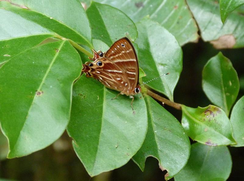 HPSaribiaTepahiMMBfly084 Nov. 9, 2010  11:17 a.m.  P1000084 A metalmark butterfly, Saribia tepahi  National Park near Ranomafana and Bellvue