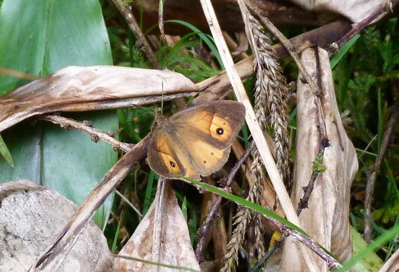 HPUnidOrangeBflyd021 Nov. 6, 2010 12:07p.m.   P1000021 Butterfly not identified Reunion NP, La Roche, Reunion