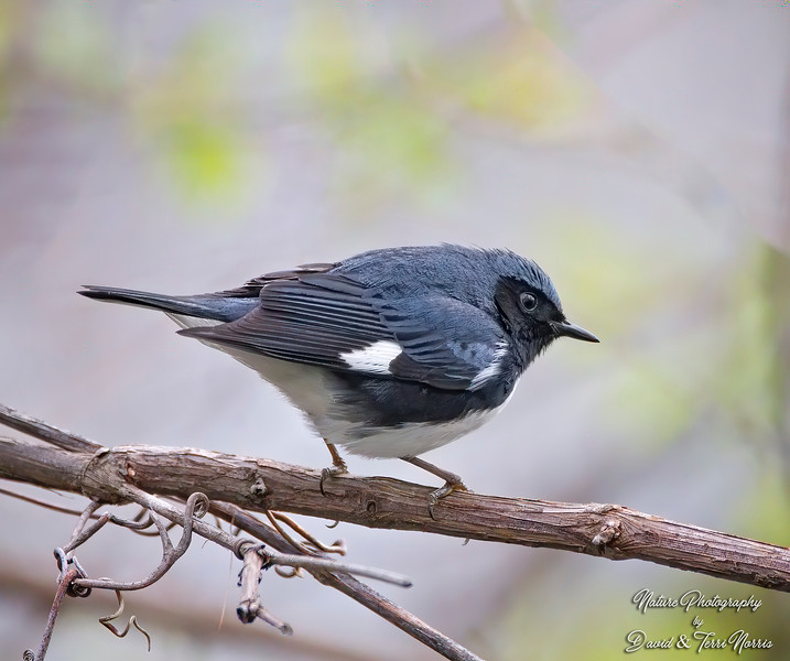 Black-Throated Warbler