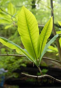 Magnolia Falls003
