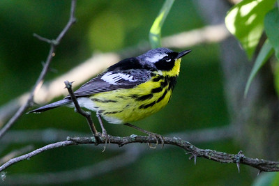 Magnolia Warbler male Trempealeau NWR May 23, 2014