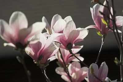 Magnolia Blossoms