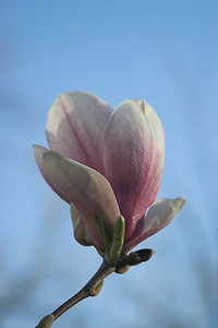 "Magnolia Blossom (Submitted to Lensday for ""Voluptuous"")"