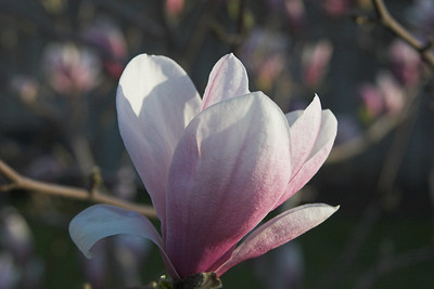 Morning Magnolia