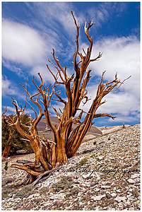 Striped ghost. A dead ancient bristlecone pine tree.