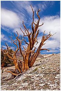 Striped ghost. A dead ancient bristlecone pine tree.