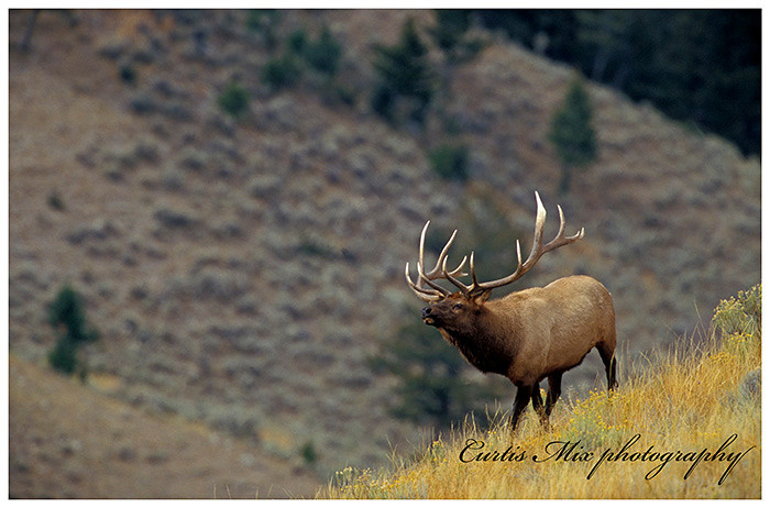 This bull elk is searching for true love.