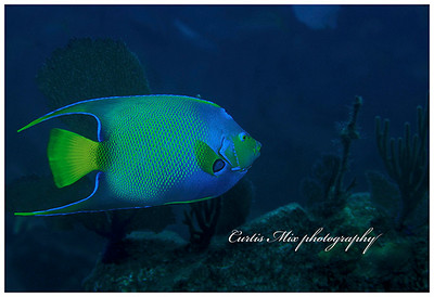 Into the deep. Queen angelfish on a shipwreck.
