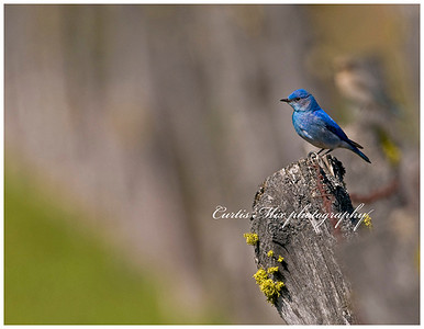 Fence line. A male mountain bluebird and his mate on the next post down.
