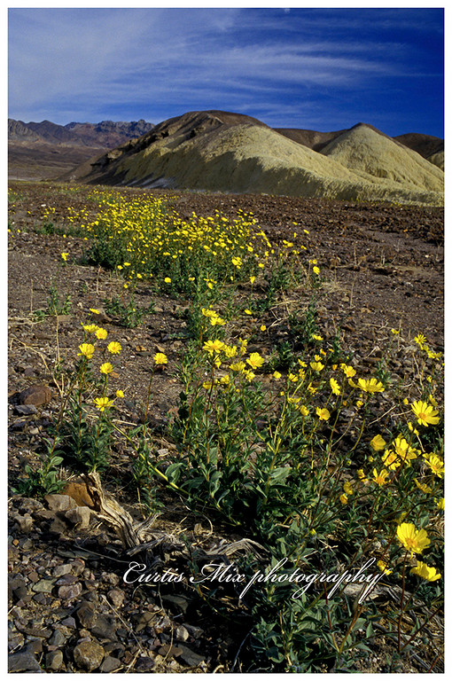 Monsoon wash bloom. Wild flowers blooming in death valley in mid winter.