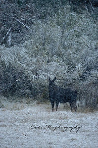 A female moose in the falling snow.