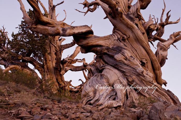 Ancient brothers. One of the bristlecone pines was discovered to be 5,300 years old.
