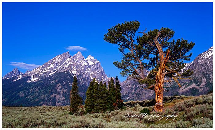 Patriarch pine.