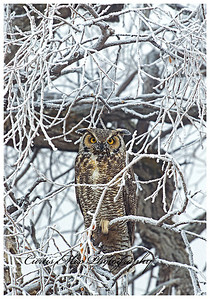 A cold foggy morning in Klamath basin. This weather condition is called rime ice. It forms when supercooled cloud or fog droplets freeze on contact with the branch. The owl even has some on it's face and horns.