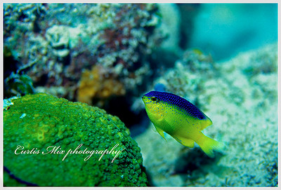 Damsel fish in coral.