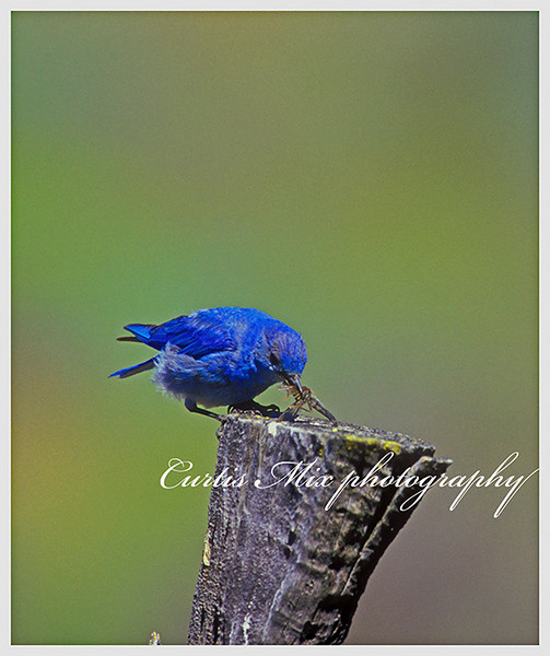 Lunchtime. I was photographing this mountain bluebird on this fence post. He flew up, caught a dragonfly, came back and ate it.