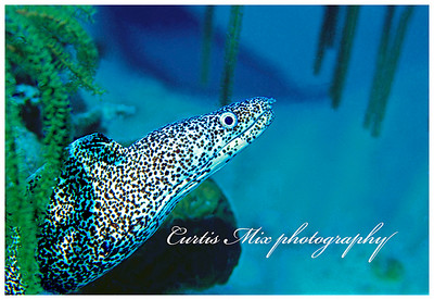 This speckled moray eel was photographed in the Bahamas. He was in a small coral head and swam quickly to the other side. I did two kicks with my flippers and flew weightlessly over to the other side. I could see him swimming as I passed over him but he didn't see me. As I got to the other side I turned around and decended to the sand at the edge of the coral. I touched down softly with my camera ready just in time for him to look out the other side and I got this shot. This was taken with a nikon n90s with an Iklite housing and a strobe.