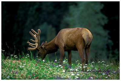 Bull elk grazing in wildflowers just before nightfall.
