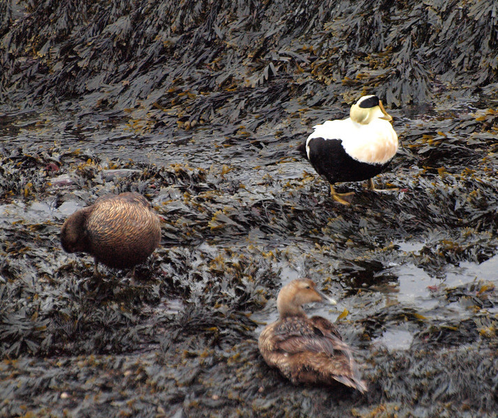Common Eiders in the seaweed at Fort William
