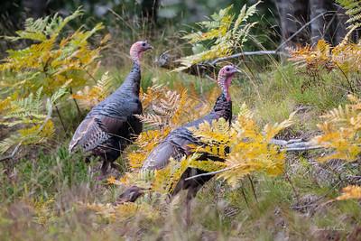 Turkeys In The Woods