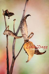 Milkweed Asciepias, Syriaca, #7982