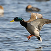 Mallard comming in for a landing