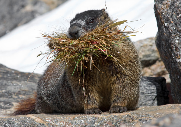 This photograph of Yellow-Bellied Marmot was captured in Rocky Mountain National Park, Colorado (9/08).     This photograph is protected by the U.S. Copyright Laws and shall not to be downloaded or reproduced by any means without the formal written permission of Ken Conger Photography.