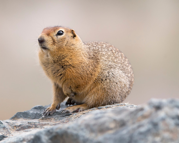 "This photograph of a Arctic Ground Squirrel  was captured in Denali  National Park, Alaska (8/15). <font color=""RED""><h5>This photograph is protected by International and U.S. Copyright Laws and shall not to be downloaded or reproduced by any means without the formal written permission of Ken Conger Photography.<font color=""RED""></font></h5></font>"