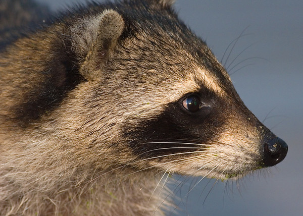 This photograph of a Raccoon was captured at Green Cay Wetlands in Boynton Beach, Florida (4/07).