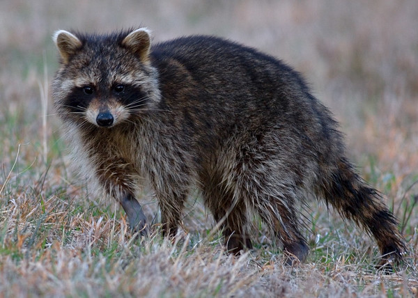 This Raccoon photograph was captured in Chincoteague National Wildlife Refuge in Virginia (3/07).  This photograph is protected by the U.S. Copyright Laws and shall not to be downloaded or reproduced by any means without the formal written permission of Ken Conger Photography.
