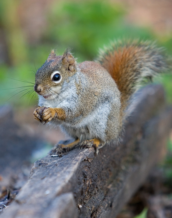 This Red Squirrel photograph was captured in Orr, Minnesota (5/07).   This photograph is protected by the U.S. Copyright Laws and shall not to be downloaded or reproduced by any means without the formal written permission of Ken Conger Photography.