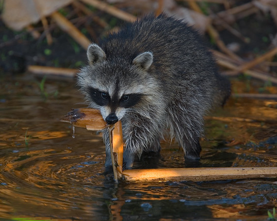 This photograph of a Raccoon was captured at Wakodahatchee Wetlands in Boynton Beach, Florida (4/07).