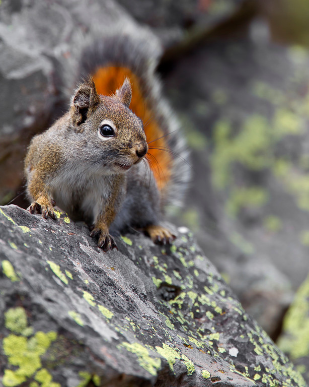 This photograph of a American Red Squirrel was captured in Yellowstone National Park, Wyoming (6/11).   This photograph is protected by the U.S. Copyright Laws and shall not to be downloaded or reproduced by any means without the formal written permission of Ken Conger Photography.