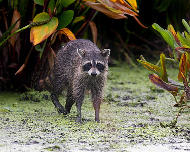 Watched this Raccoon prowl the vegetation for awhile before he finally appeared long enough for a photograph (Wakodahatchee Wetlands 4/06).  This photograph is protected by the U.S. Copyright Laws and shall not to be downloaded or reproduced by any means without the formal written permission of Ken Conger Photography.