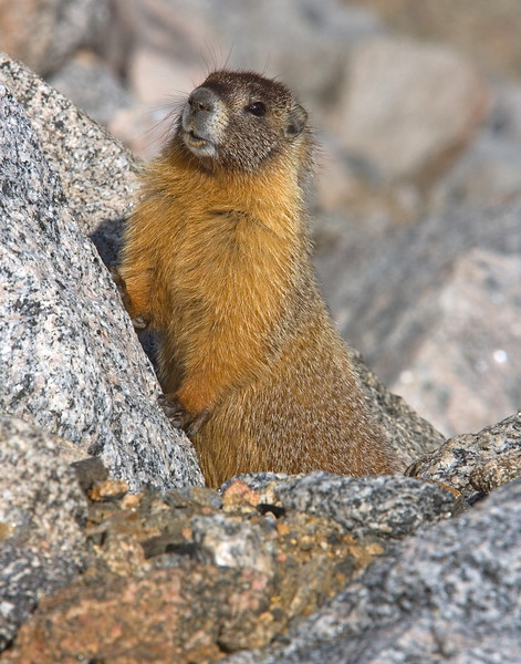 This Yellow-bellied Marmot photograph was captured along the road to the Mt. Evans, Colorado summit (6/07).   This photograph is protected by the U.S. Copyright Laws and shall not to be downloaded or reproduced by any means without the formal written permission of Ken Conger Photography.