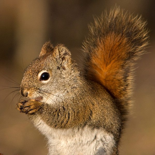 This American Red Squirrel  photograph was captured in Orr, Minnesota (5/08).  This photograph is protected by the U.S. Copyright Laws and shall not to be downloaded or reproduced by any means without the formal written permission of Ken Conger Photography.