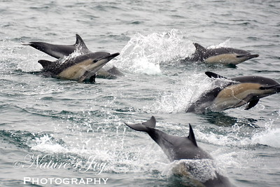 Common Dolphin September 13, 2012 Monterey Bay, CA