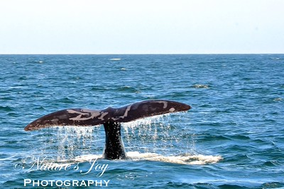 Atlantic Right Whale