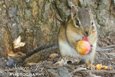 Chipmunk licking Wild Plum