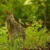 Marsh Hare