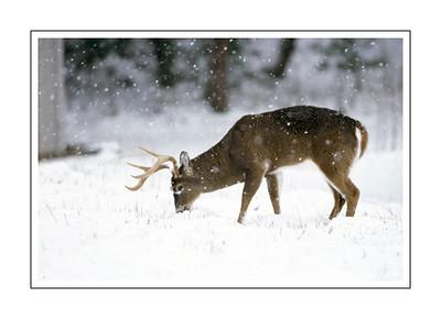 mammals_WHITETAILDEER