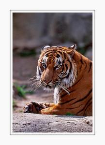 mammals_SiberianTiger
