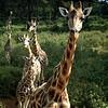 Rothschild's Giraffe (Giraffa camelopardalis ssp. rothschildi)<br /> Nairobi, Kenya<br /> IUCN Status: Endangered (trend: increasing)