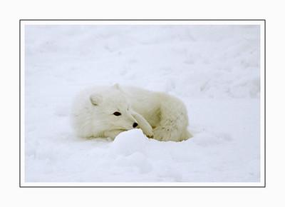 mammals_articfox